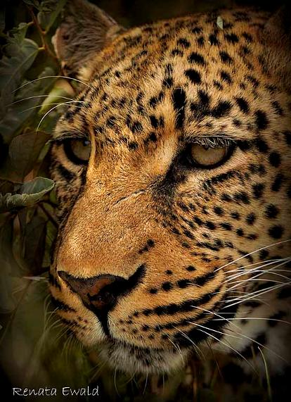 leopard,wildlife,predator,beauty,elusive,photography, kill, cats